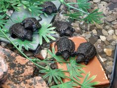 Small change: When these tiny snapping turtles hatched they were about the size of a loonie.