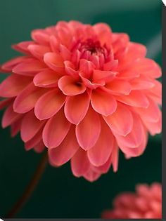 Coral Dahlia - I think I just found my favorite flower and they're in season for fall!