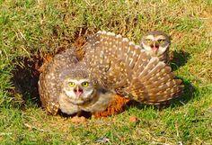 Owl Storytelling: Indovina chi viene a cena? Mrs. Civetta delle tane...