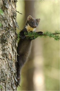 The Martens constitute the genus Martes, are slender, agile animals, adapted to living in taigas, and are found in coniferous and northern deciduous forests across the northern hemisphere. They have bushy tails, and large paws with partially retractible claws. The fur varies from yellowish to dark brown, depending on the species, and, in many cases, is valued by fur trappers. Pine Martin,The little climber by Hinrichs