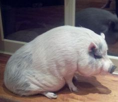 "It looks like ""Gorgeous"" the pot-bellied pig had a little too much to eat."