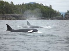 Orca's in Canada. What a great sight!