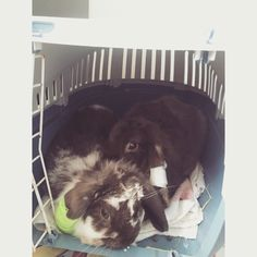#bunnies #lop #bandage #operation #cute #sad #love #pets #family #babies