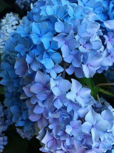 I ❤ COLOR AZUL INDIGO + COBALTO + AÑIL + NAVY ♡ Hortensias azules