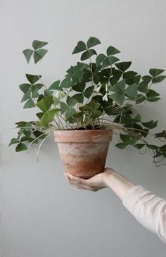 Philodendron Types Indoor Green Pinterest Plants