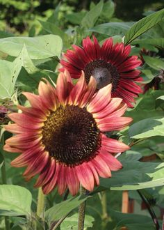 """(F1) The fastest growing sunflower that we have seen. The 3"""" blooms are a beautiful cherry red with creamy yellow tips and large black centers.You will have flower buds within 40 days and it grows to"""