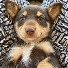 Australian Shepherds, West Highland Terrier, Scottish Terrier, Undertale Dog, Cavoodle Dog, Cute Dog Harness, Cute Baby Puppies, Rottweiler, Puppy Breath