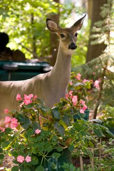 how to keep deer out of garden home remedies