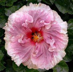 Hibiscus sp Cest Bon' Cajun Series Tropical by BonniesGarden