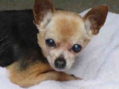 OC Animal Care Center Pet ID: A1371113  Sex: F Age: 11Years Color: TRICOLOR  Breed: CHIHUAHUA SH - MIX  Kennel: 101