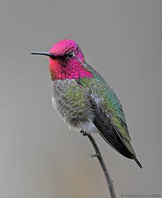 Ann'a Hummingbird - male