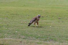 Hawk, Posing. by camflan, via Flickr