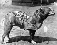 Sergeant Stubby (1916 or 1917 – April 4, 1926), was the most decorated war dog of World War I and the only dog to be promoted to sergeant through combat. Americas first war dog, Stubby, served 18 months over there and participated in seventeen battles on the Western Front. He saved his regiment from surprise mustard gas attacks, found and comforted the wounded, and even once caught a German spy by the seat of his pants (holding him there til American Soldiers found him). Back home his…