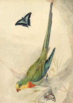 Superb parrot by John Lewin, 1817.