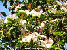 HIBISCO BLANCO: Hibiscus arnottianus