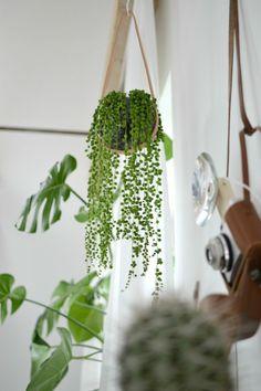 Perlenschnurpflanze/ Erbsenpflanze