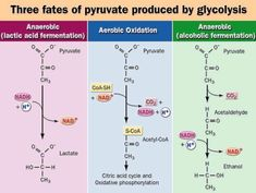 glycolysis diagram with carbohydrates, lipids, and amino acids - Google Search