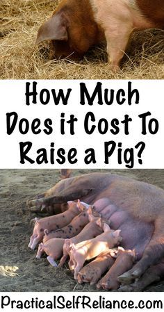 How Much Does it Cost to Raise a Pig?