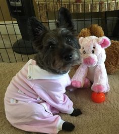 c262cf40fe7 Rosie is wearing her pink  CoverMebyTui after her CCL surgery. She s  wearing pink to match her piglet friend. www.tulanescloset.com