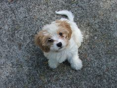 """Cavoodle. """"Bunny"""" King Charles / Poodle"""
