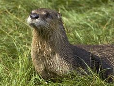 Google Image Result for http://images.nationalgeographic.com/wpf/media-live/photos/000/006/cache/na-river-otter_641_600x450.jpg