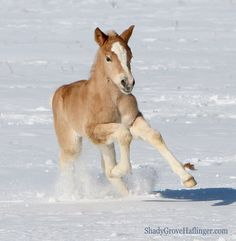 Action photos of Haflingers -Shady Grove Haflinger Pictures