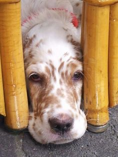 Our Charley the English Setter pup playing hide and seek.