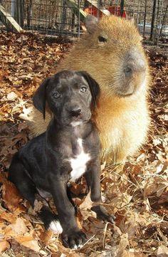 Capybara & Puppy