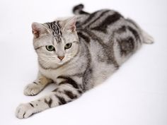 The American Shorthair is a muscular cat with a sweet disposition. Medium to large in size, it is a working cat in every regard, exhibiting both balance and endurance. The most striking color for the American Shorthair's coat is sterling silver coat with black markings. This is one of the most popular colors, but there are upwards of 60 colors available for the Shorthair.
