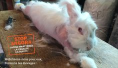 #Act4FarmAnimals Stop Angora  One Voice revealed a terrifying investigation about six French angora rabbits farms. Attached to a table, rabbits cry of fear and pain when their skin is removed while awake. A complaint was filed by One Voice for cruelty to animals. L214 is doing the civil party.   Take action to stop this