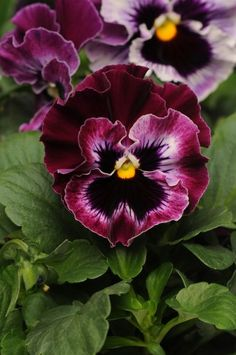 Pansy ~ Frizzle Sizzle series 'Raspberry' Viola
