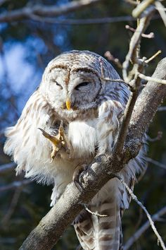 }{ Barred owl