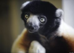 A newly born Madagascar Lemur, an endangered species, at Besancon Zoo in France. There are only 17 living in captivity worldwide.