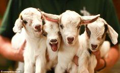 cabras bebes - Buscar con Google