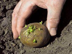 Potato / aaloo / ulekalang seedling n growing in pot by sadhna's terrace garden Planting Seed Potatoes, Potato Gardening, Tomato Garden, Vegetable Garden, Organic Fertilizer, Organic Gardening, Growing Greens, Edible Garden, Growing Vegetables