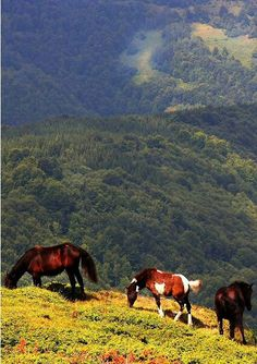 Horses in the Kopaonik Mountains, Serbia. Kopaonik is one of the larger mountain ranges of Serbia. It is located in the central part of Serbia, while a small portion extends to North Kosovo. Its highest point, Pančić's Peak, is 6,617 ft above sea level.