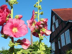 Rosa Stockrosen an der Hunnenburg in der Lauenburger Altstadt