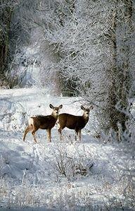 herten in de sneeuw