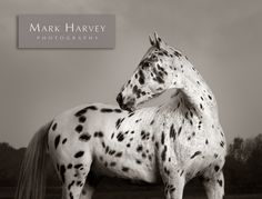 Appaloosa, Fine art Photography by Mark Harvey.  Horses, Art, Unusual, Uk Horse Photographer, Refined Equine Portraiture.