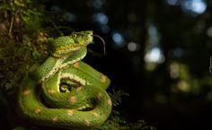 Zielony, Wąż, Pyton zielony