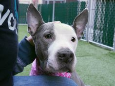 KIA - A1104150 - - Manhattan  TO BE DESTROYED 02/23/17 **NEEDS A NEW HOPE RESCUE TO PULL** A volunteer writes: She is so sweet! Such a good girl! Love her! Our medical staff can't stop singing Kia's praises and with good reason. This dainty pup is the most adorable little thing and unbelievably easy to handle given the fact that she's in pain. Kia craves attention and treats and lets me carry her without complaint and while she can stand for a few minutes