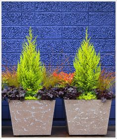 Gorgeous plant combo! Monterey Cypress with the dark Frosted Violet Coral Bells, chartreuse Angelina Stonecrop and fiery Gulf Stream Heavenly Bamboo