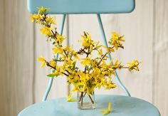 Forsythia ushers in spring. Branches of bright yellow blossoms make for a cheery arrangement.