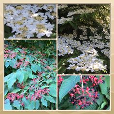 This Week at #Sonomahort, Spring/Summer Seasonal Contrast of Shasta Viburnum Plicatum, White Blossoms/Red Berries. http://www.facebook.com/sonomahort
