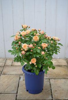 鉢植えバラの冬の管理、とっておきの話 - GardenStory (ガーデンストーリー)