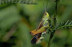 BugsAlive posted a photo:  Mont Lozère, Parc National des Cévennes, Lozère, France  Family : Acrididae  Subfamily : Gomphocerinae  Species : Stauroderus scalaris  This grasshopper is distributed from Spain across southern Europe to the Balkans and Turkey. From there it continues eastwards through the southern Russian Steppe to Central Asia and Siberia. It is one of the largest grasshopper species in southern Europe with a length of 17-28mm, the females being larger than the males…