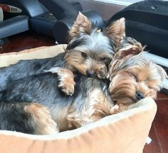 Yorkie love....remind me so much how my babies would cuddle :(