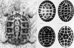 world mysteries The tortoise, so often seen as supporting the world in creation myths, has a striking similarity to cymatic sound pattern within its shell. It was a tortoise shell that was used to create the ancient Chinese divination system of the I-Ching. Marie Louise Von Franz suggests the I-Ching as a perfect mathematical model of our DNA. Could this creation myth be an explanation of how our very existence is supported and made possible by DNA? [Von Franz, 1975]