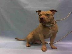 SUPER URGENT 01/16/2016 Brooklyn Center BOLO – A1062908  MALE, BROWN / WHITE, PIT BULL MIX, 3 yrs SEIZED – ONHOLDHERE, HOLD FOR ARRESTED Reason OWN ARREST Intake condition ILLNESS Intake Date 01/14/2016, From NY 11691, DueOut Date 01/21/2016,
