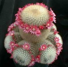Mammillaria pilcayensis. So cute flowering cactus--looks like a Polynesian dancer.